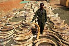 Confiscated Ivory Pile