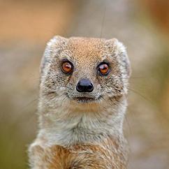 mesmerising mongoose