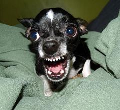 vicious Chihuahua