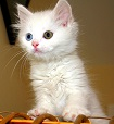 An Odd-eyed Turkish Van Kitten