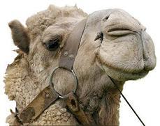 ugly camel