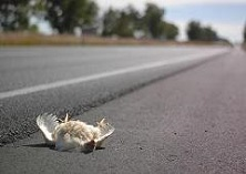 dead chicken on road